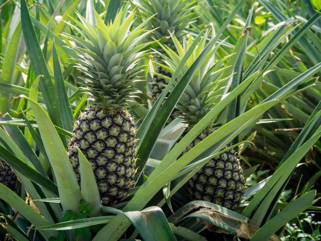 thailand's pineapple crop